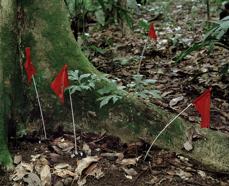 Marked Dragontium gigas plants, 2001