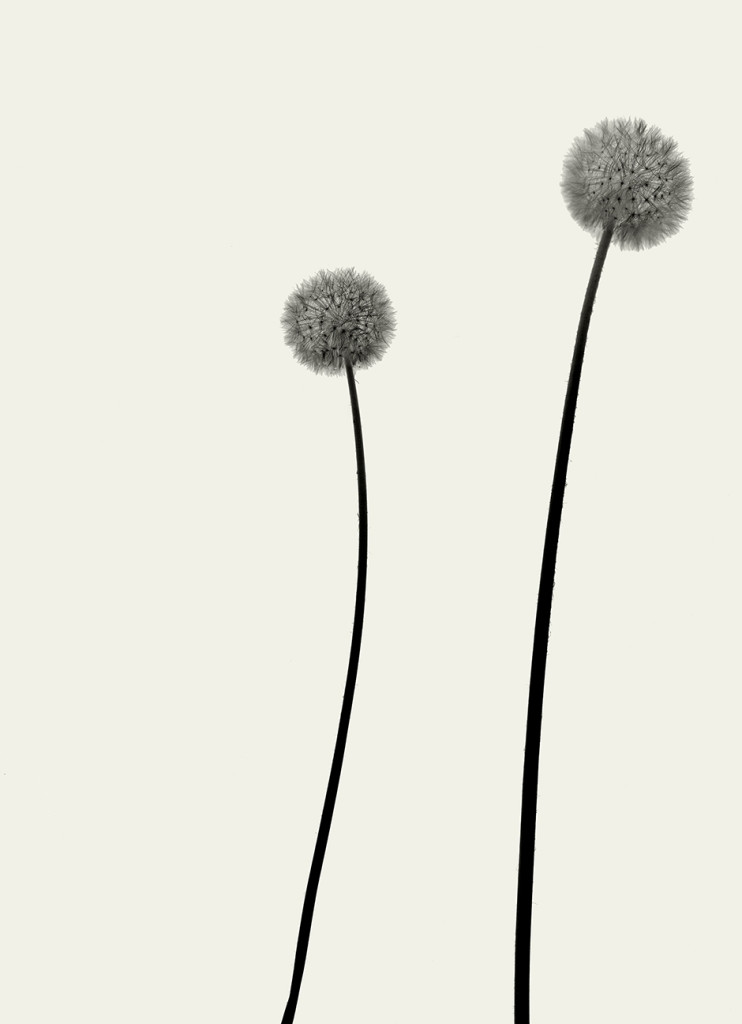 Exposure #5 (Dandelions), 2008